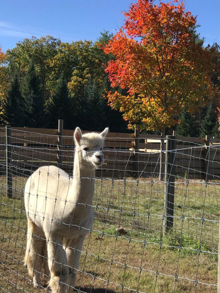 Alpaca at Spring Pond Farm, Greenfield, NH, October 2020.